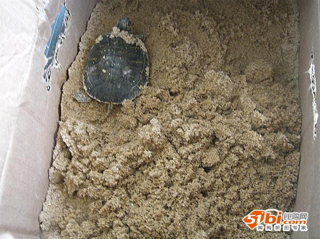 冬天来了 给小乌龟做沙屋,准备冬眠