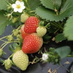 大鸠宝 草莓苗四季草莓苗 8颗 (含盆)