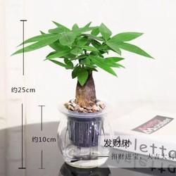 一品花匠 发财树含盆  1盆