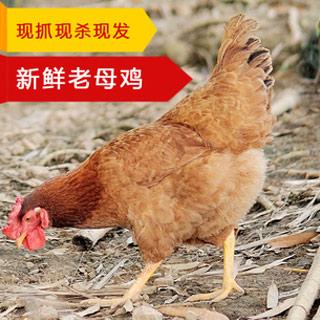 正宗土鸡2年散养老母鸡