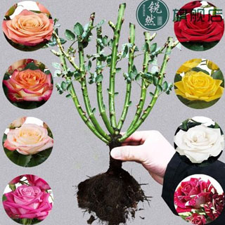 玫瑰花苗四季开花大花绿植物
