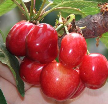 樱桃车厘子新鲜水果 山东特产大红灯樱桃
