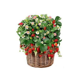 草莓种子四季播盆栽