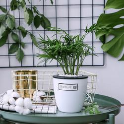 发财树富贵竹水培植物