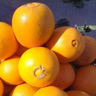 新鲜现摘四川脐橙10斤
