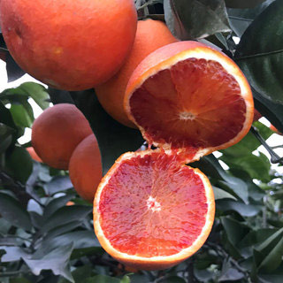 血橙当季秭归脐橙8斤