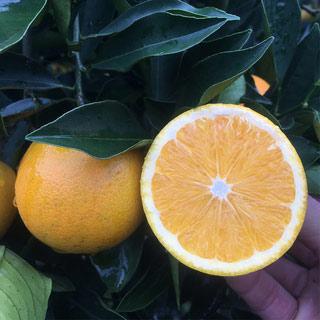 拍2 麻阳冰糖橙9斤