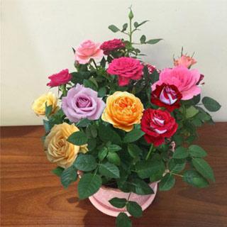 玫瑰花苗月季花卉盆栽带盆