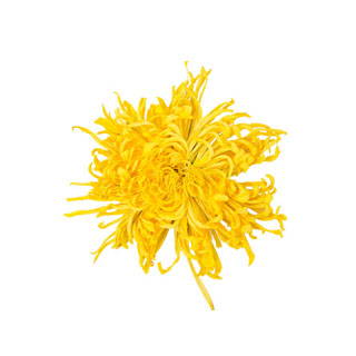 金丝皇菊一朵一杯约50朵