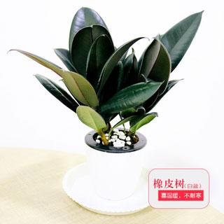 植物发财树盆栽