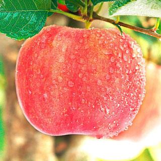蘋果水果新鮮當季10斤