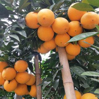 正宗贛南臍橙手剝橙凈果5斤