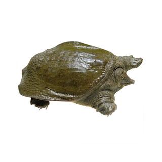 野生鲜活甲鱼1.2-1.5斤