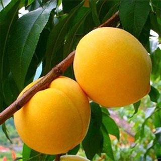 新鲜现摘带箱黄桃10斤