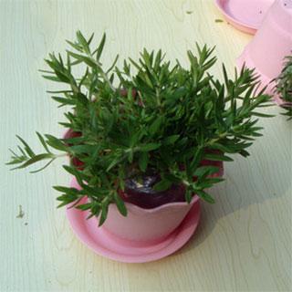 正宗藥材垂盆草植物花苗