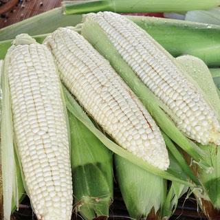 東北玉米棒現摘糯玉米10個