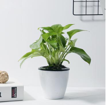 衛生間防輻射吸甲醛小綠植