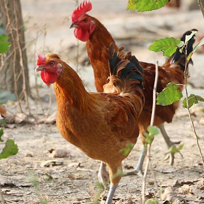 拍2件農家土雞共1.6斤